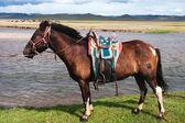Mongolian horse saddled — Stock Photo