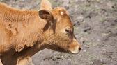 Arrière-plan. un animal. un petit veau brun. — Photo