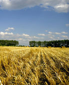 Sunny hay field — Stock Photo