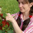 Stock Photo: Harvesting of a red currant
