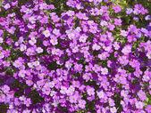 Aubretia bloemen — Stockfoto