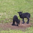 Two black lambs — Stock Photo