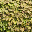 Sycamore hedge background — Stock Photo