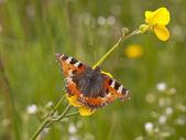 Papillon petite tortue — Photo