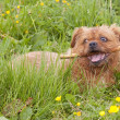 Stock Photo: Terrier with stick 2