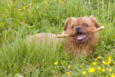 Terrier with stick 2 — Stock Photo