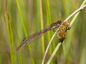 Grande libellula rossa 2 — Foto Stock