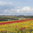 Poppies in a landscape — Stock Photo #5869290