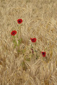 Poppies and barley — Stock Photo
