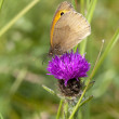 Meadow brown butterfly — Stok fotoğraf