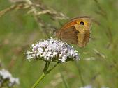Farfalla prato marrone 2 — Foto Stock