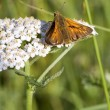 Stock Photo: Large skipper butterfly