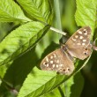Speckled wood butterfly — Stock Photo #6065030