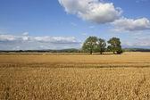 Golden wheat fields — Stock Photo