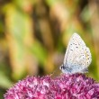 Common blue butterfly 2 — Stock Photo #6462590