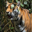 Tiger in thicket — Stock Photo