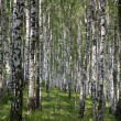 Photo a landscape a birchwood in the summer — Stock Photo #6243498