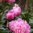 Beautiful Pink Peonies in Garden — Stock Photo