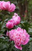 Beautiful Pink Peonies in Garden — Stock Photo