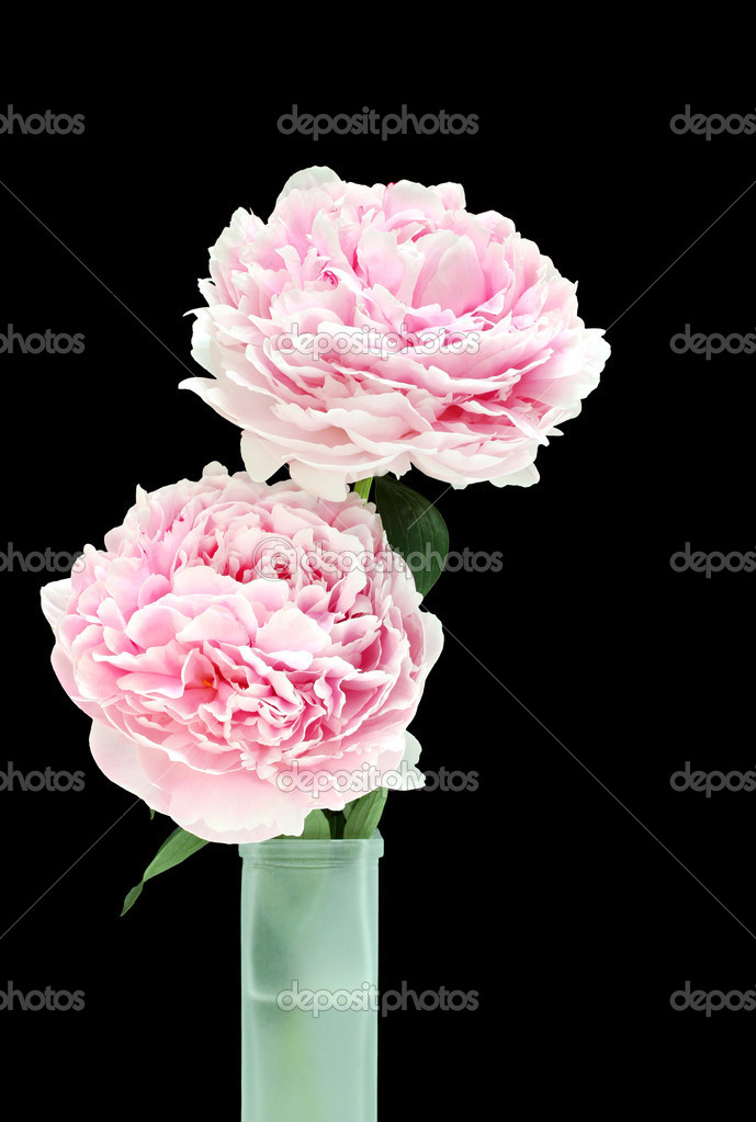 Two fresh and beautiful pink peonies in a green frosted glass vase.  On black with copy space.  Stock Photo #5891652