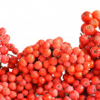 Natural red rowan — Stock Photo #6682012