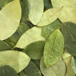 Coca Leaf Background — Stock Photo
