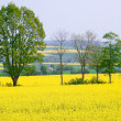 Stock Photo: Rapeseed is alternative energy source.