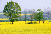 Rapeseed is an alternative energy source. — Stock Photo