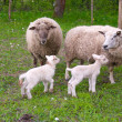 Sheep and lambs on pasture. — Stock Photo
