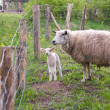 Ewe and lamb — Stock Photo #5560940