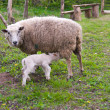 Ewe and lamb — Stock Photo #5560943