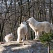 Stock Photo: Polar wolves