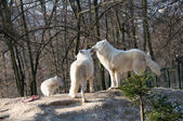 Polar wolves — Stock Photo