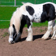 Stock Photo: White-black horse.