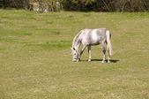 Gray dapple horse . — Foto de Stock