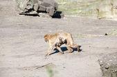 Macaca sylvanus — Foto de Stock