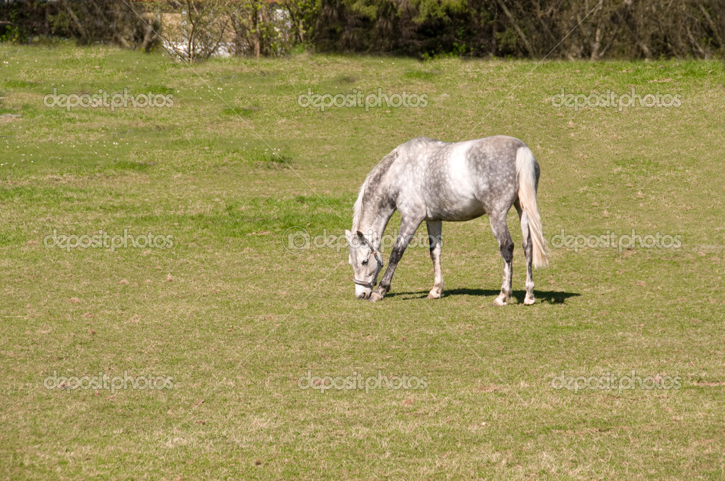 Gray dapple horse   grazing in the meadow.  — Stock Photo #5974461