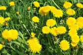 Dandelions blooming — Stock Photo