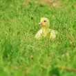 Duckling — Stock Photo #5547029