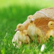 Fluffy ducklings — Stock Photo #5547969
