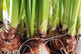 Nergis soğanları — Stok fotoğraf
