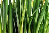 żółty żonkil pąki — Zdjęcie stockowe