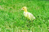 Duckling on green grass — Stock Photo