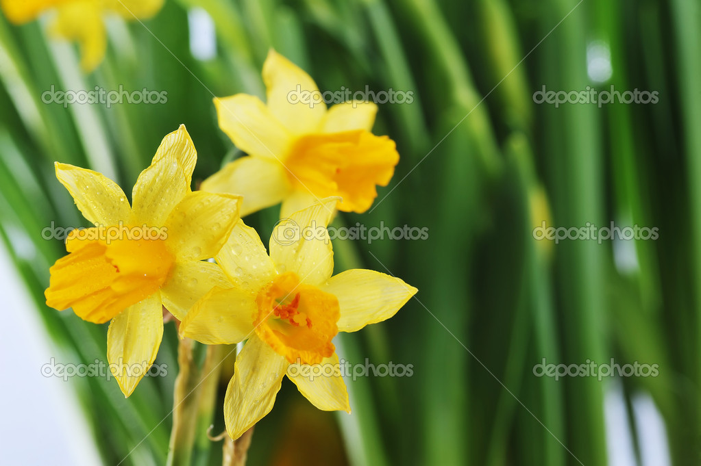 Yellow daffodils with  stems  and leaves in  bunch  Stock Photo #5647379