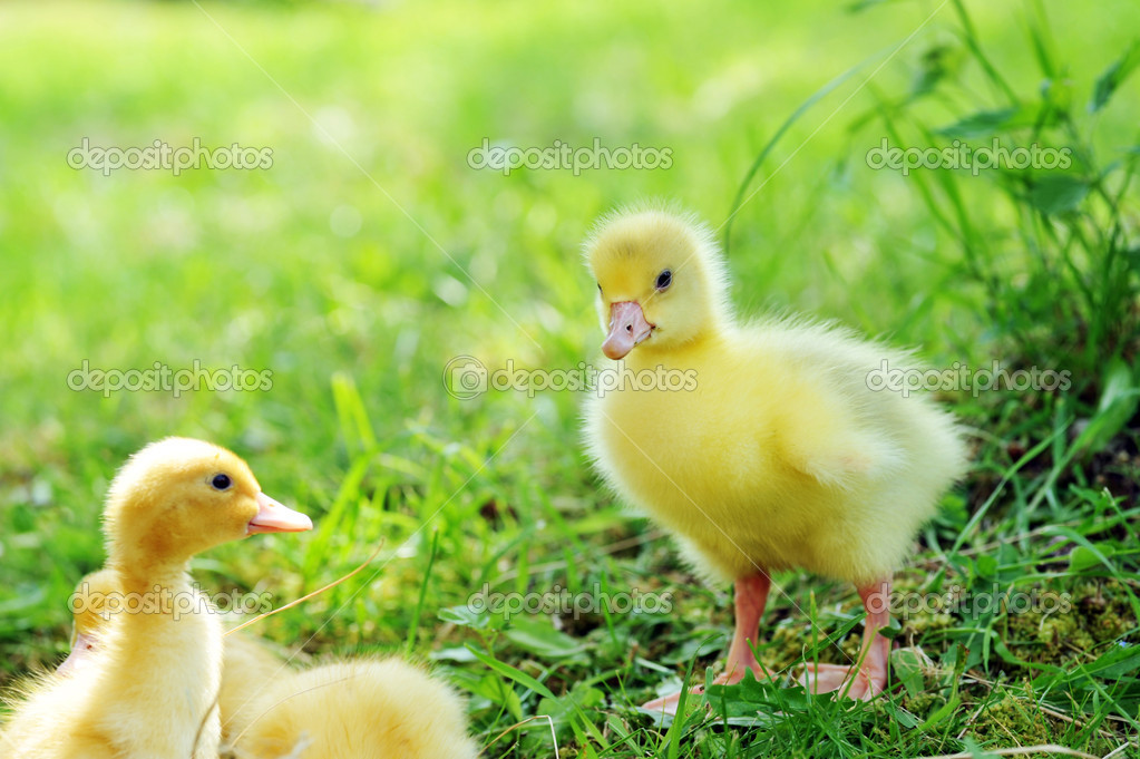 Three fluffy chicks walks  in green grass — Stock Photo #5647428