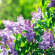 Постер, плакат: Purple lilacs