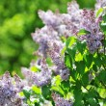 ������, ������: Purple lilacs
