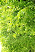 Deciduous tree — Stockfoto