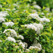 White spiraea — Stock Photo