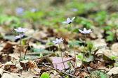 Blossoming hepatica — Stock Photo
